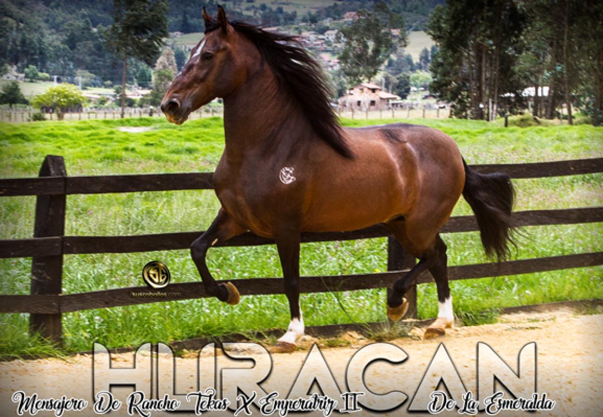 Criadero San Carlos Presenta A Su Reproductor Y Campeón Huracàn de La Esmeralda