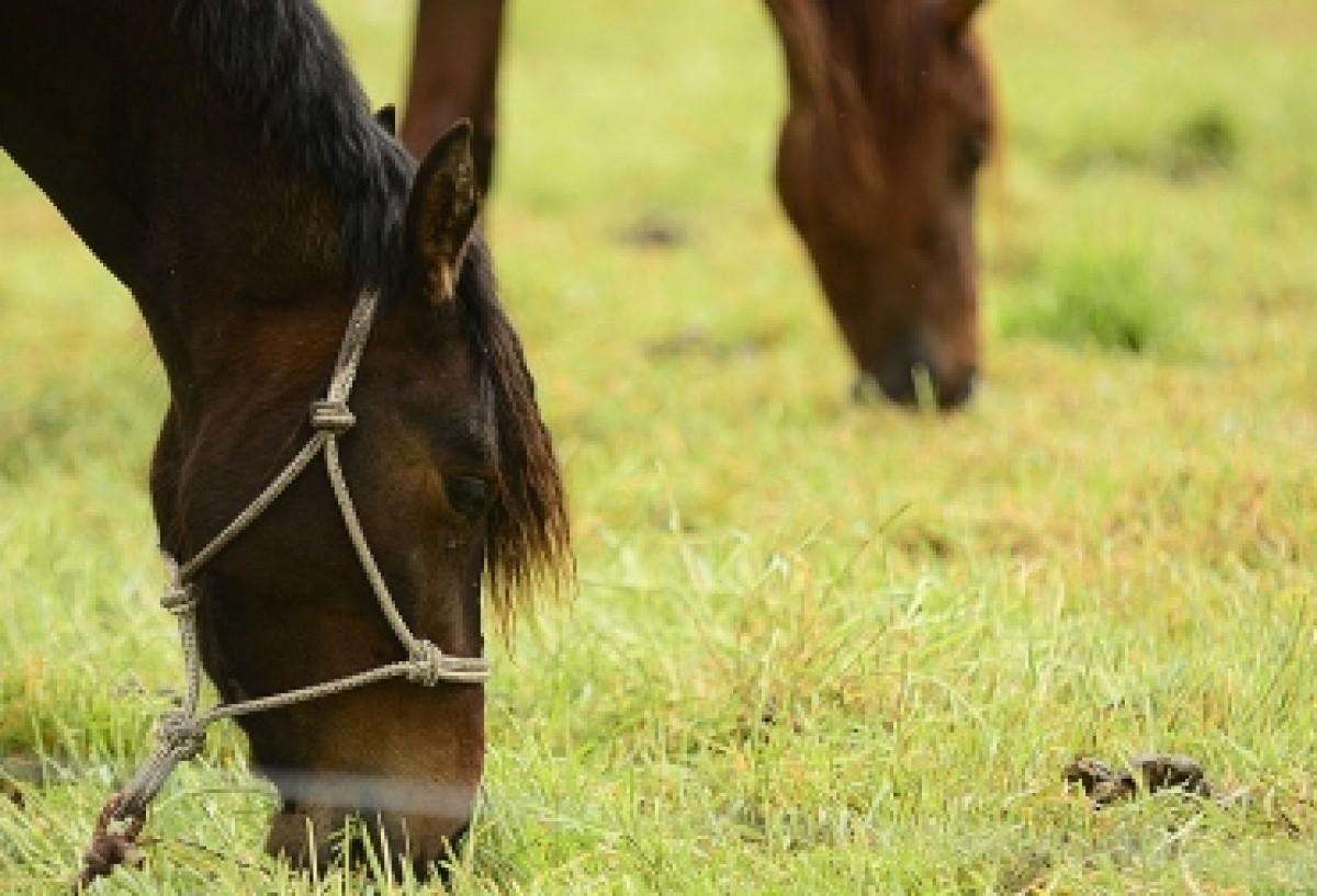 Estrés en caballos deportistas originaría úlceras gástricas