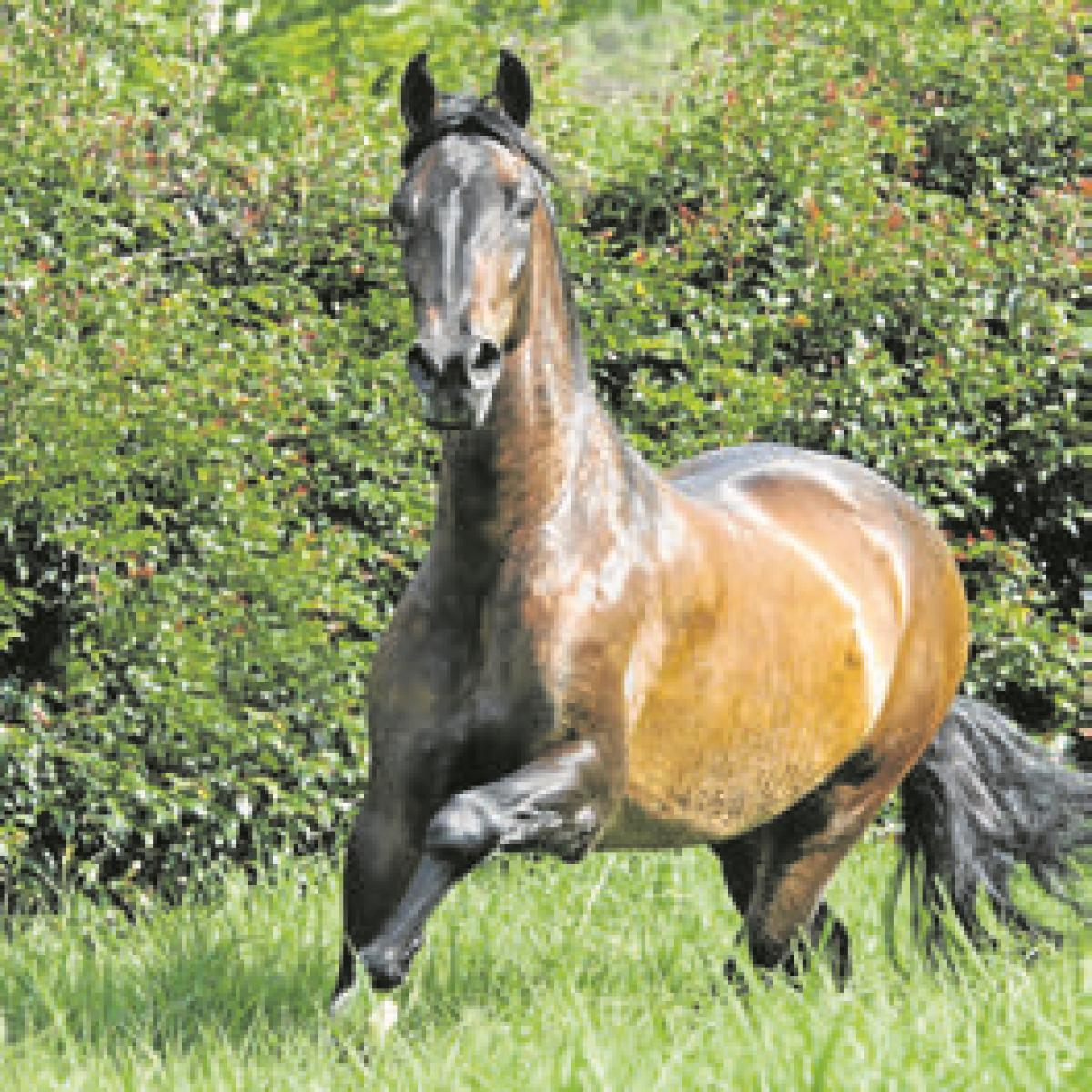 Así ha evolucionado la genética de los caballos colombianos