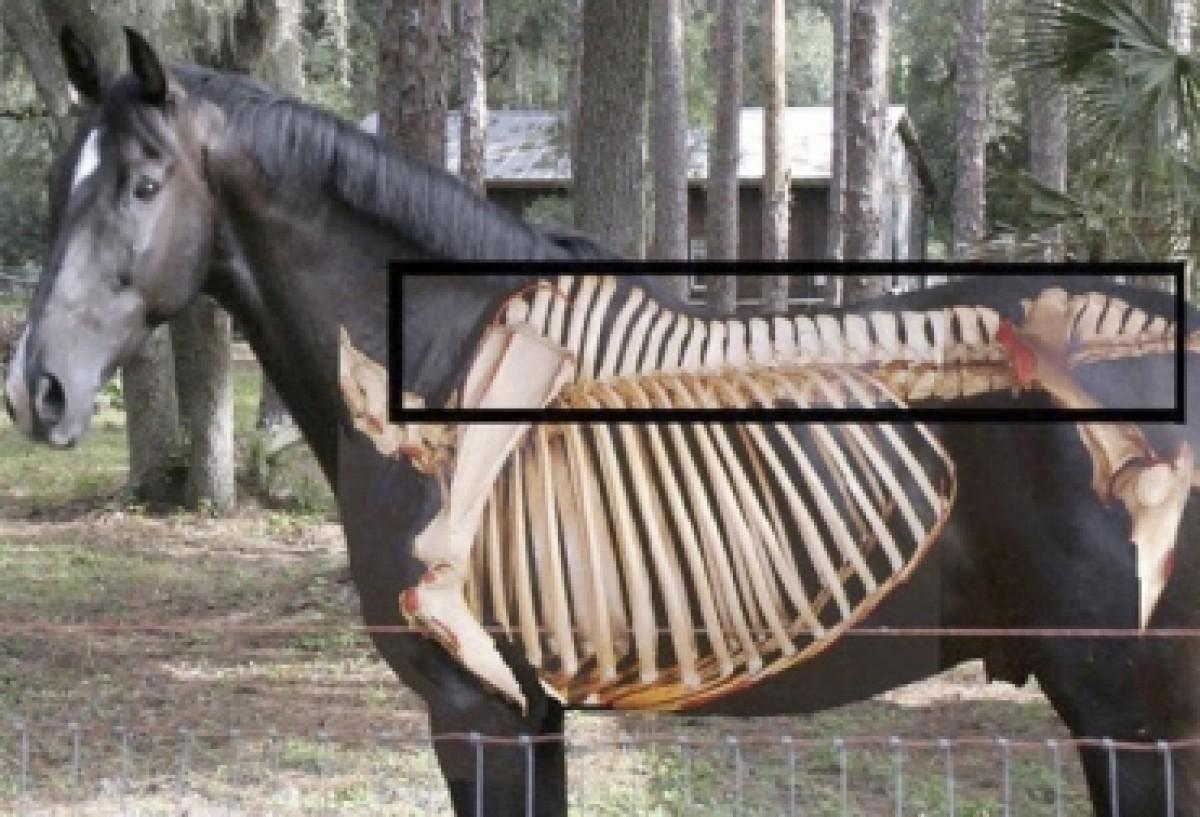 ¿Cómo se presenta la deficiencia de calcio en equinos y cómo debe tratarse?
