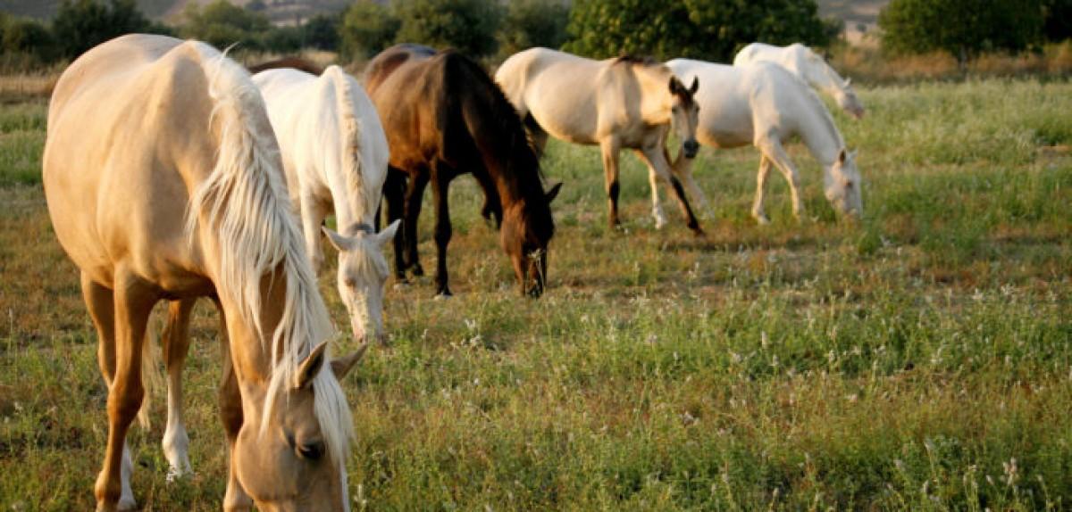 ¿Cuántos años tendría mi caballo si fuera una persona?