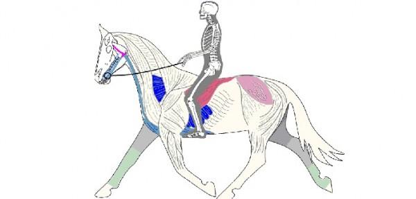 http://www.suscaballos.com/8 músculos clave en equitación