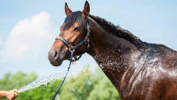 http://suscaballos.com/Manejo de 4 de los peligros más comunes del caballo en temporadas de calor