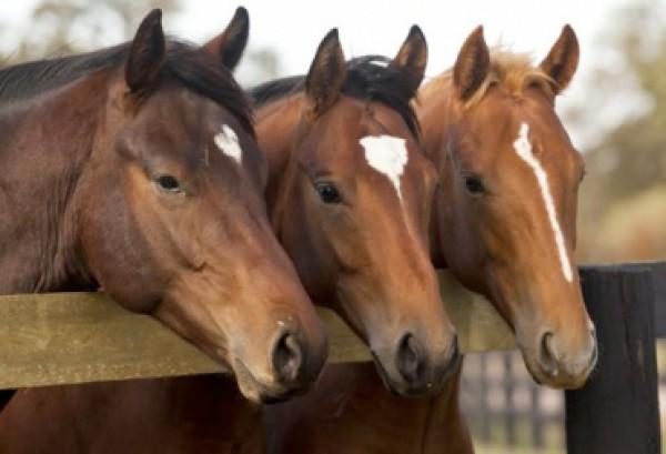 http://suscaballos.com/Mejoramiento Genético De Equinos Para Vaquería