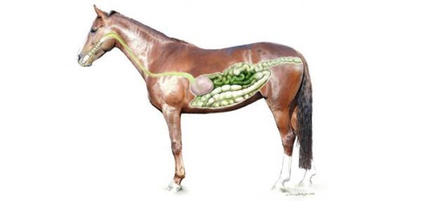http://www.suscaballos.com/Que debemos saber sobre las úlceras gástricas