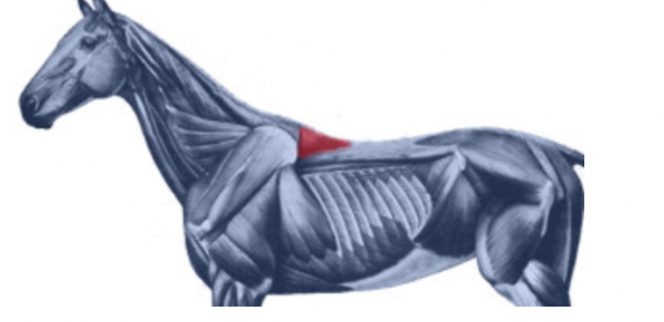 https://suscaballos.com/El músculo espinal y su importancia en la salud del caballo