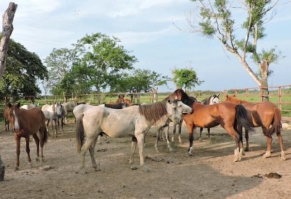 http://suscaballos.com/En Arauca adelantan estudio del caballo criollo de la región