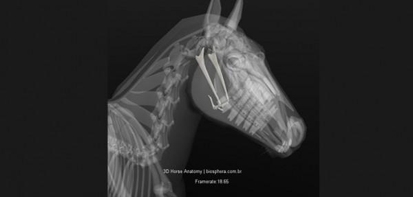 https://suscaballos.com/El Aparato Hioideo: una lengua relajada para un caballo conectado