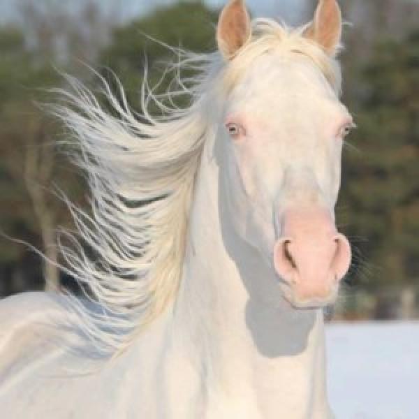 https://suscaballos.com/Los caballos albinos… ¿existen?
