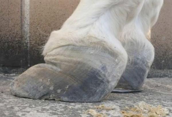 https://suscaballos.com/De esta forma es como se manifiesta la laminitis en equinos