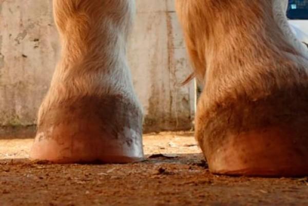 "https://suscaballos.com/El Barefoot : Técnica para Mantener ""Descalzos"" a los Caballos"
