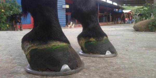 https://suscaballos.com/Herraduras. Fundamentales para el bienestar de los equinos