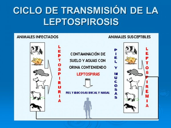 https://suscaballos.com/Conozca Sobre La Leptospirosis equina